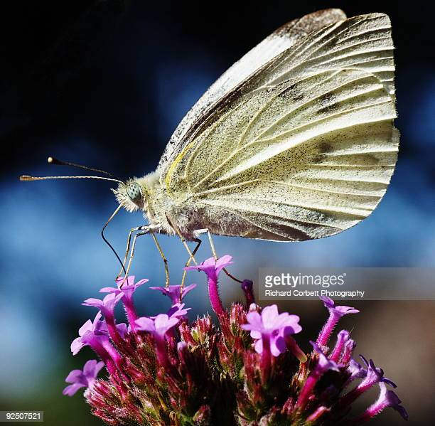 Large White butterfly on Verbena