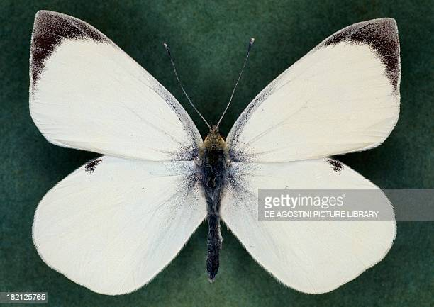 Large white or Cabbage butterfly Pieridae male