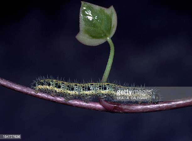Large white or Cabbage white caterpillar Pieridae