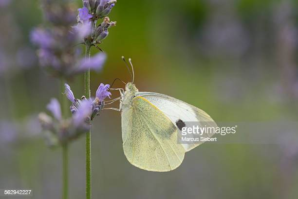 Large White -Pieris brassicae-, Hesse, Germany