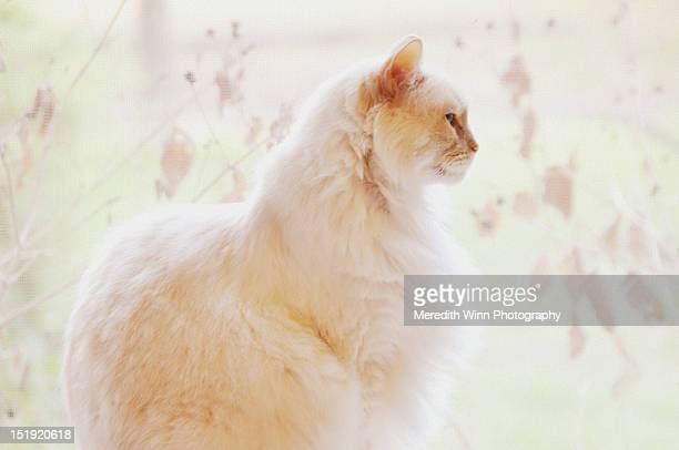 Large white rag doll cat