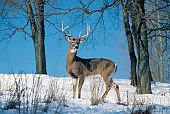 Large whitetail deer buck on snowy hillside