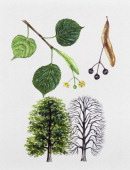 Largeleaved linden Tiliaceae tree with and without foliage leaves flowers and fruits illustration