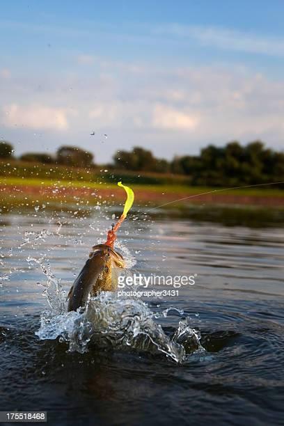 Forellenbarsch Jumping