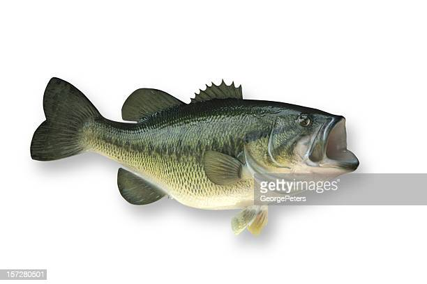 Largemouth Bass with Clipping Path