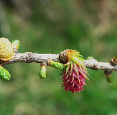 Larix decidua - Buds and inflorescences of European larch
