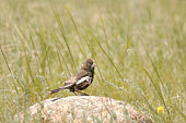 Basically a species shot of a Lark Bunting standing on a rock with copyspace and wild grass in the scene.