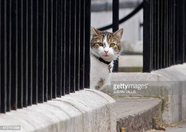 Larry cat of British Prime Minister David Cameron sits on the step outside 10 Downing Street in London on May 9 2015 Britain awoke to a new political...