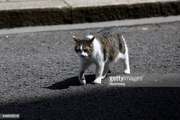 Larry the Downing Street cat a brown and white tabby rehomed from Battersea Dogs and Cats Home walks outside 10 Downing Street in London UK on...