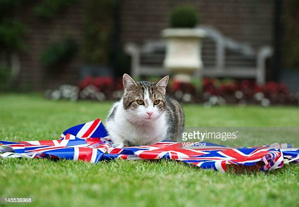 Larry the Downing Street cat plays with bunting in the garden of number 10 Downing Street on June 1 2012 in London England Four days of celebrations...