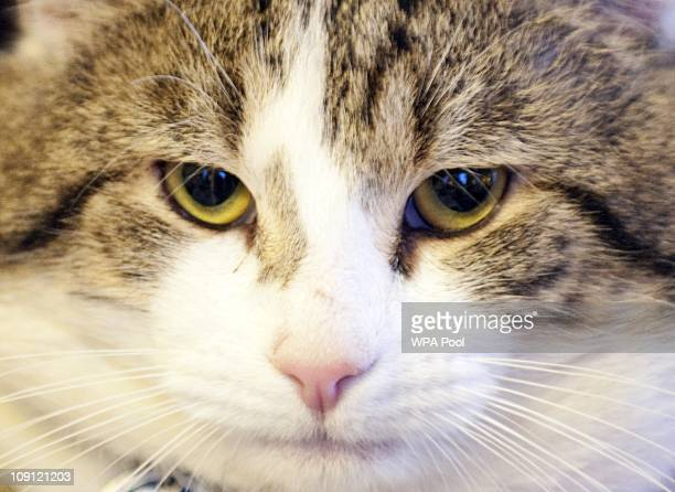 'Larry' the new Downing Street cat at Number 10 Downing Street on February 15 2011 in London England It is hoped that British Prime Minister David...