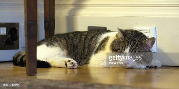 'Larry' the new Downing Street cat takes a nap at Number 10 Downing Street on February 15 2011 in London England It is hoped that British Prime...