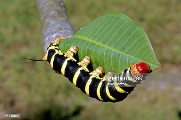 Larva of a sphinx moth... Yellow Velvet Ant