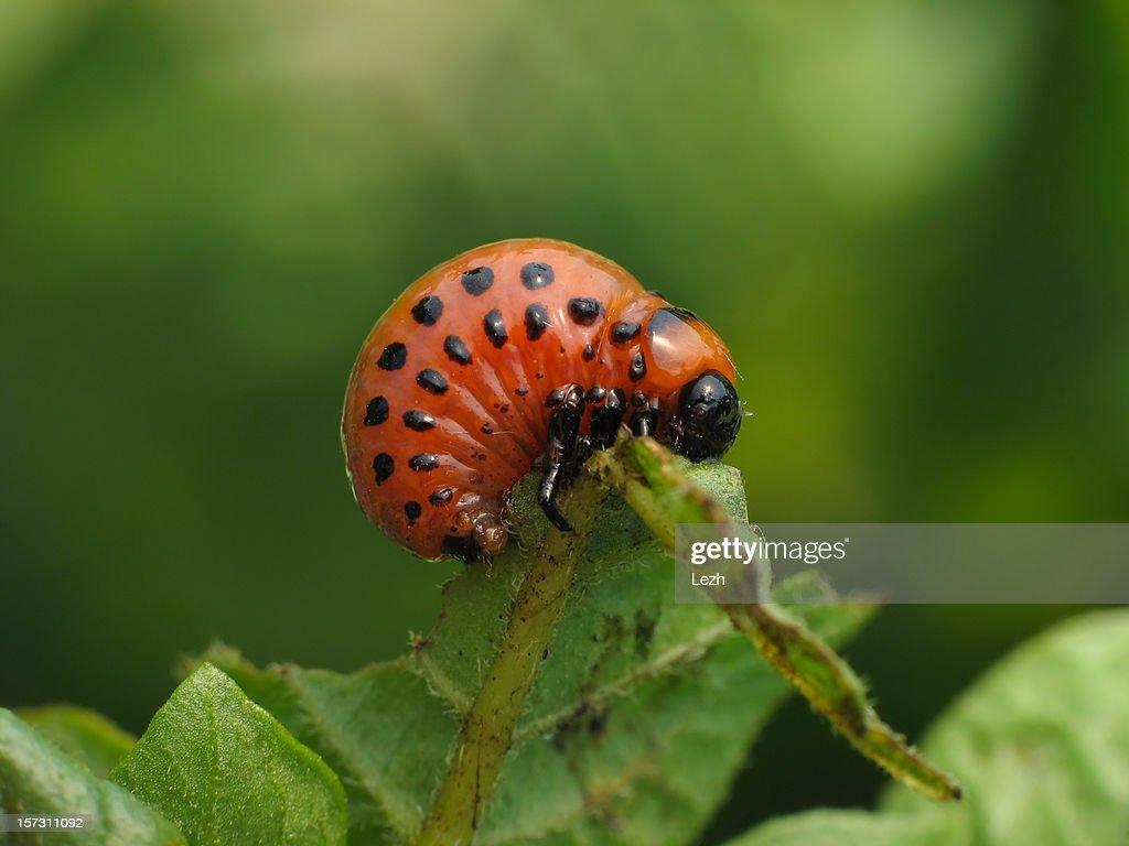 Larva of colorado beetle