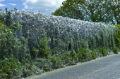 Larvae stage of Tent Moth Eastern Tent Caterpillars make tent of silk on host hedgerow in County Cork Ireland