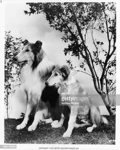 Lassie and her son in publicity portrait for the film 'Lassie Come Home' 1943