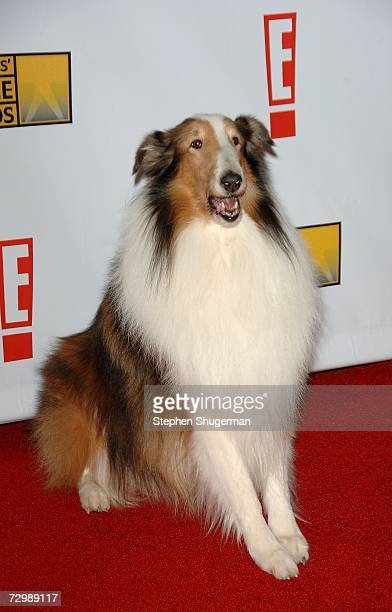 Lassie arrives at the 12th Annual Critics' Choice Awards held at the Santa Monica Civic Auditorium on January 12 2007 in Santa Monica California