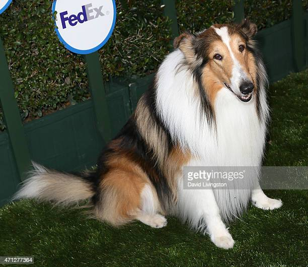 Lassie attends Safe Kids Day presented by Nationwide at The Lot on April 26 2015 in West Hollywood California