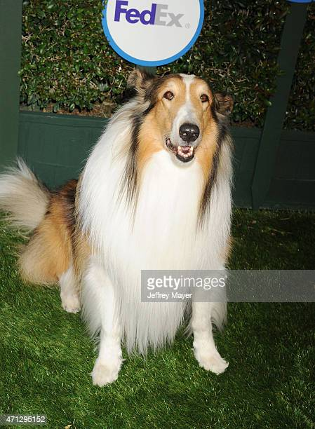 Lassie attends the Safe Kids Day presented by Nationwide at The Lot on April 26 2015 in West Hollywood California