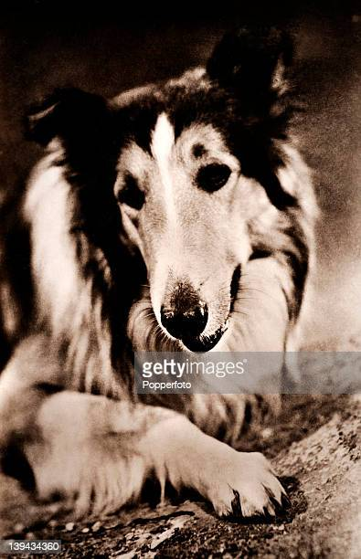 Lassie canine star of film and television circa 1942