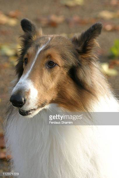 Lassie during 'Lassie' London Photocall at Hyde Park Corner Band Stand in London Great Britain