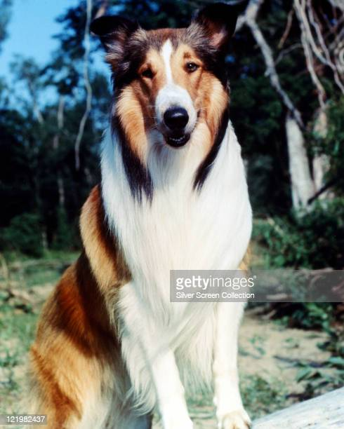 Lassie the Rough Collie star of film and television sits for a portrait with trees and blue sky in the background circa 1950