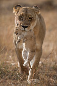Lioness carrying a cub, her last cub to safety