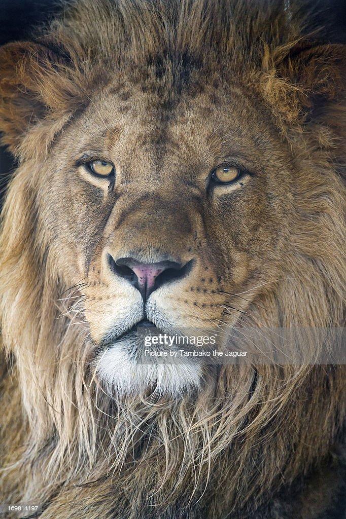 Last portrait of the beautiful Lion : Stock Photo