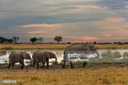 Late light Elephants