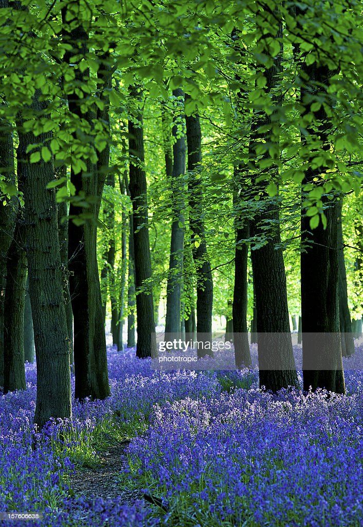late sun through the bluebell woods : Stock Photo