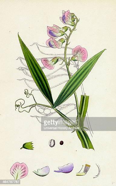 Lathyrus sylvestris Narrowleaved Everlasting Pea