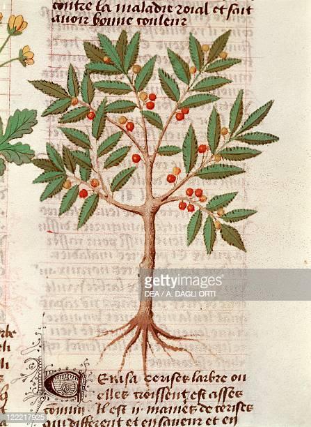 Latin manuscript 15th century De Diversis Herbis Plate Cherry tree