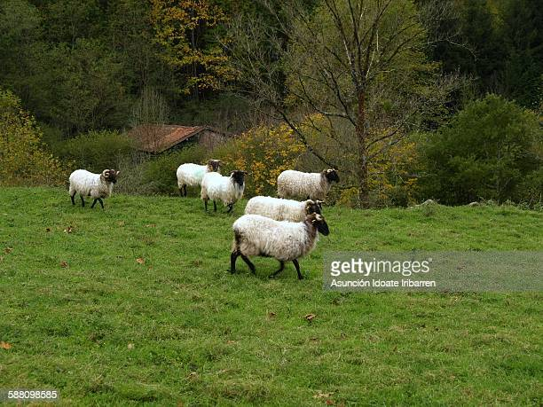 Latxa sheep