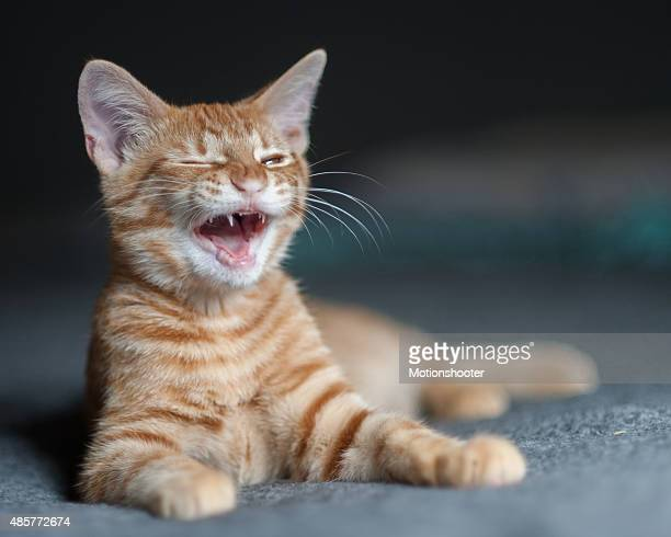 Cute Tabby kitten with laughing expression