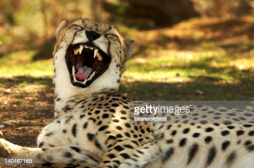 laughing cheetah - photo #13