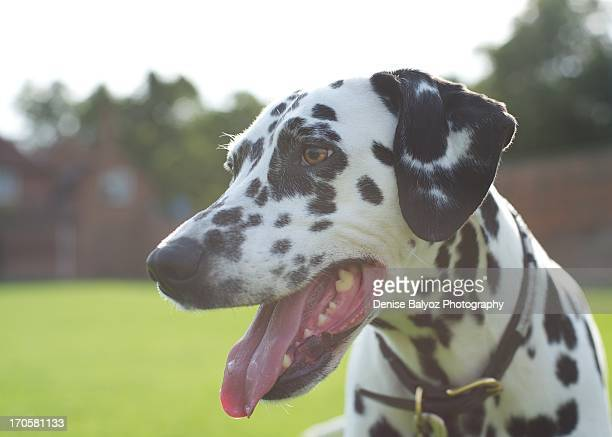 Laughing Dalmation