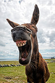 An Irish donkey looks as though he is laughing.