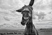 A donkey on an island off the west coast of Ireland looks as though he is laughing. Shot in Black and White.