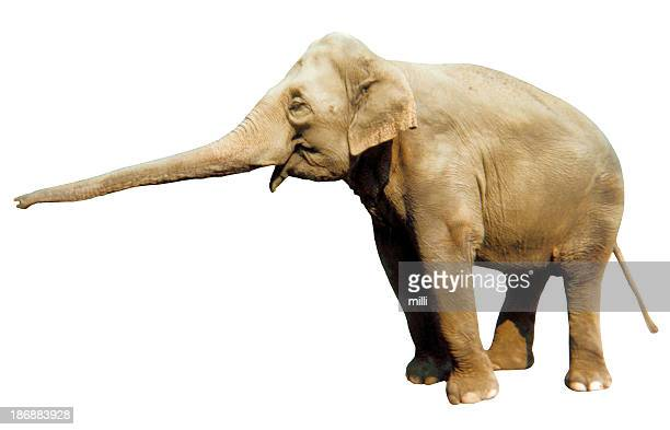 laughing elephant (white background)