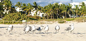 Group of sleepy laughing gulls early in the morning on the sandy beach of Florida.