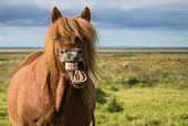 Icelandic horse contorts mouth in a mighty laugh. Room for text on right side of image