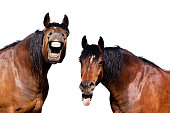 Two horses with open mouths and tonge hanging out laughing hysterically at a funny joke.