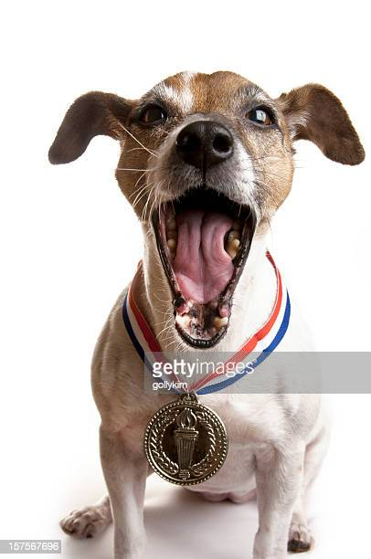Laughing Jack Russell Terrier Dog with Gold Medal