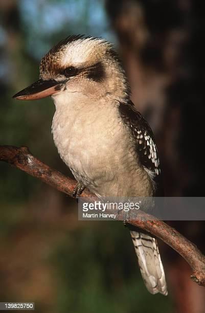 Laughing Kookaburra, Dacelo novaeguineae, characteristic bird of Australia.