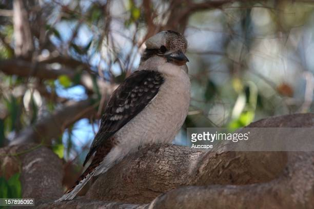 Laughing kookaburra Perth Western Australia