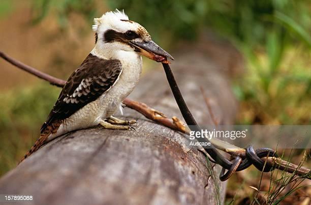 Laughing kookaburra young bird eating Yellownaped snake North Queensland Australia