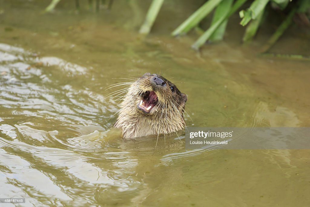 laughing otter Gallery