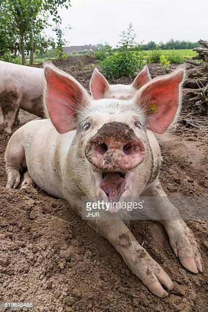 Happy Pigs in dirt