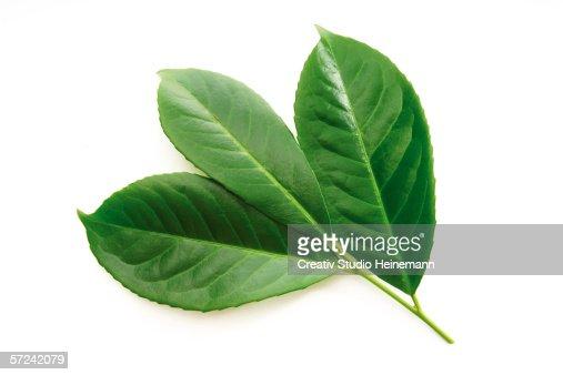 Laurel leaves, Prunus laurocerasus, close-up