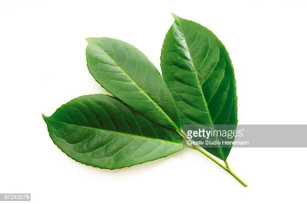 Laurel leaves, Prunus laurocerasus, close-up